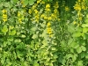 Crociata o erba croce dei fossi (Cruciata laevipes)