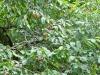 altro ciliegio selvatico carico di frutti