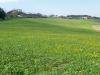 campi di erba medica, tarassaco