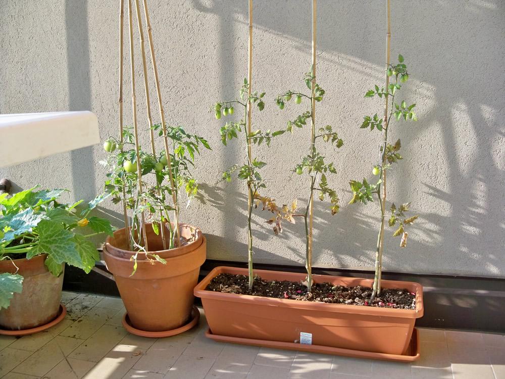 Orto sul balcone grazia cacciola for Piante pomodori in vaso