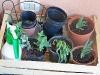 Nursery: al momento ci sono cipolle da mandare in semenza, una menta selvatica e il basilico-menta