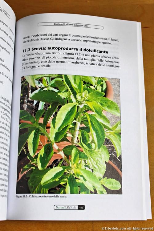 La stevia coltivata sul balcone