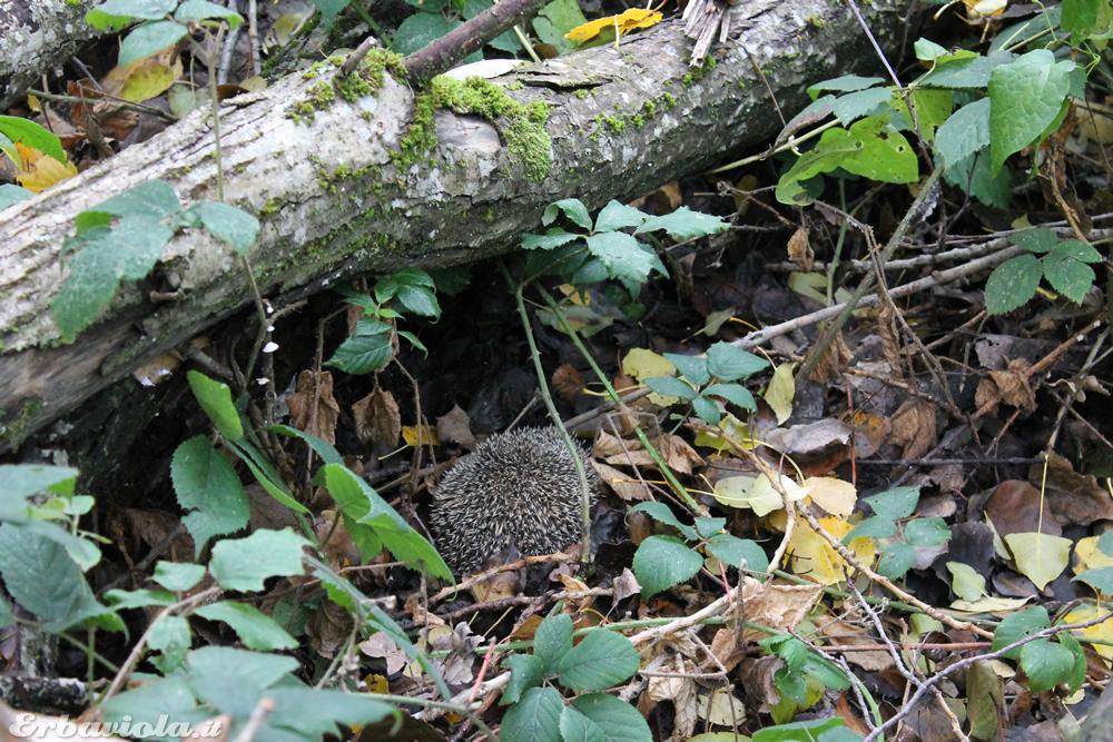 Salvataggio del riccio nella legnaia un tranquillo - Riccio in giardino ...