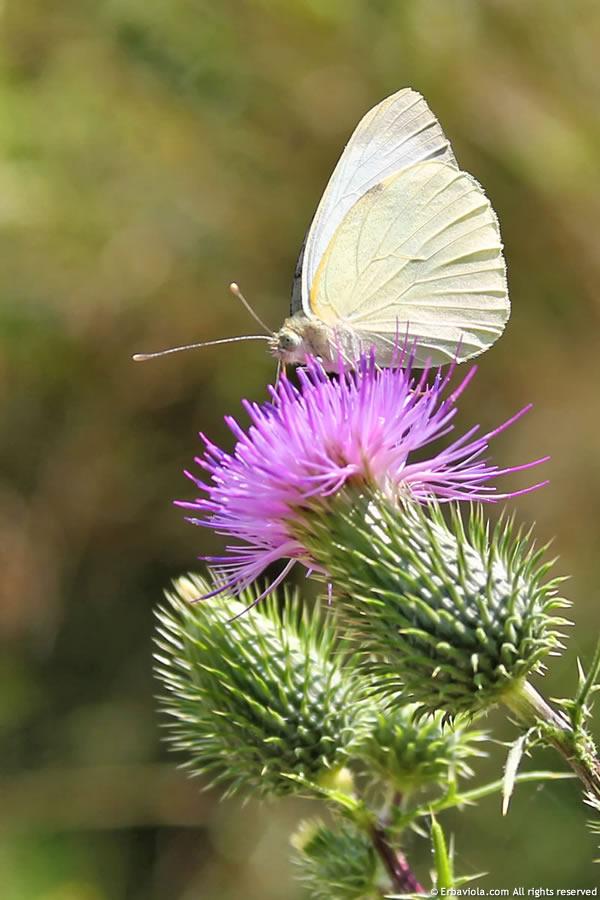 farfalla e cardo - erbaviola.com