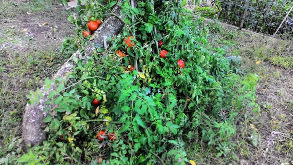 pomodori cuore di bue a novembre