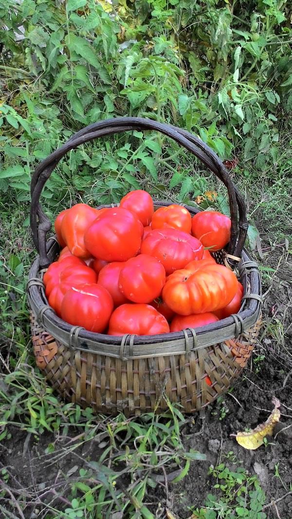cesta di pomodori cuore di bue a novembre