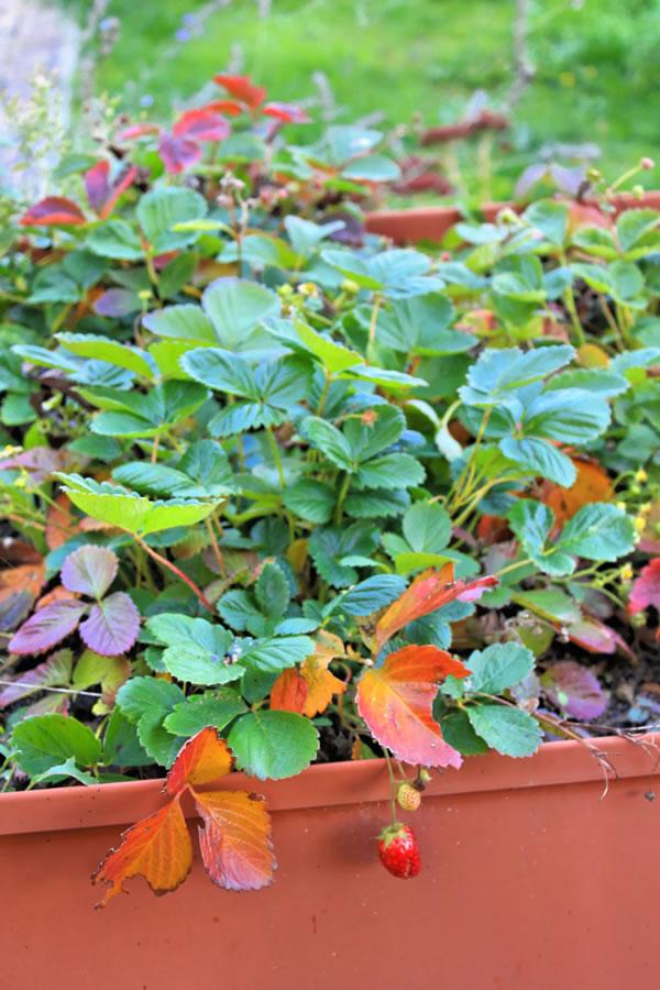 fragole dai mille colori a novembre