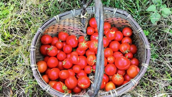 cesta di pomodori ciliegini in novembre