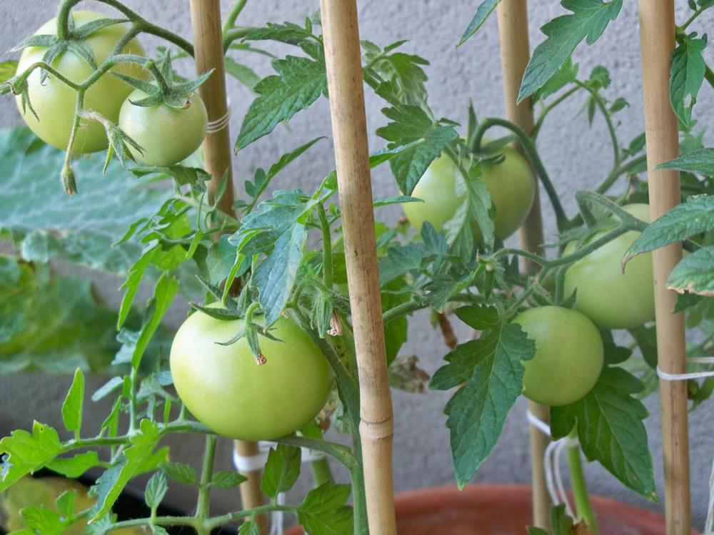pomodori sul mio orto da balcone