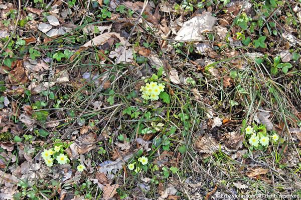 primula vulgaris tra le foglie secche