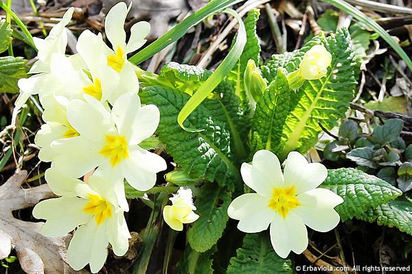 primula vulgaris - particolare