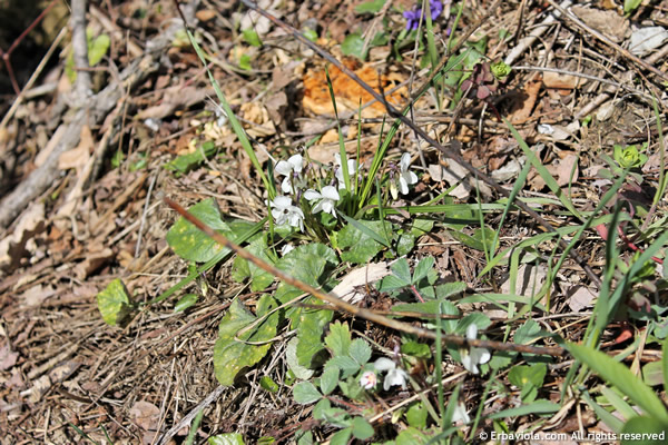 viola bianca (Viola alba Besser (incl. subsp. scotophylla (Jord.) Nyman)