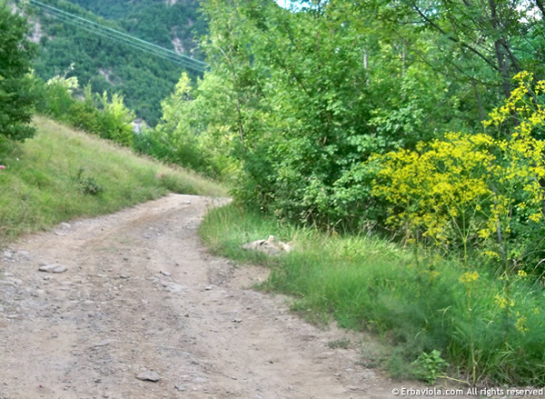 Strada per Castiglioncello - erbaviola.com