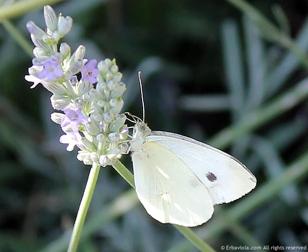 cavolaia (Pieris rapae L.)
