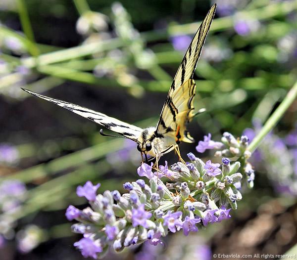 farfalla_fronte2