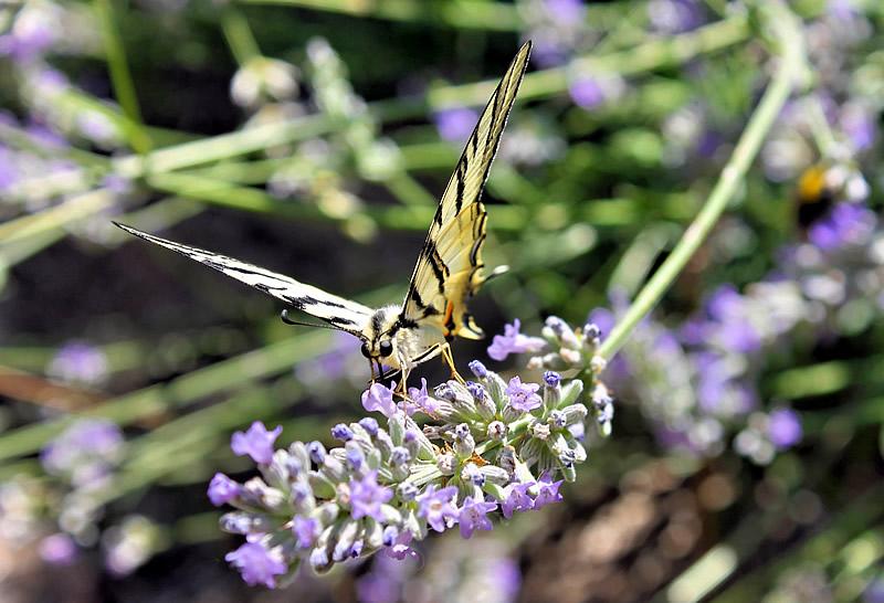 farfalla sulla lavanda