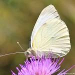 farfalla bianca erbaviola.com