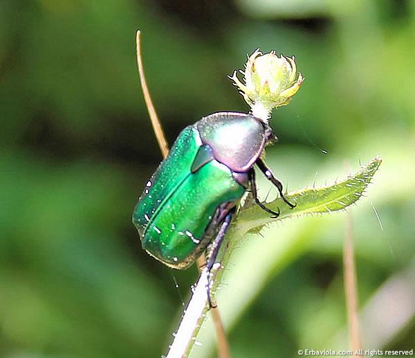 scarabeo - erbaviola.com