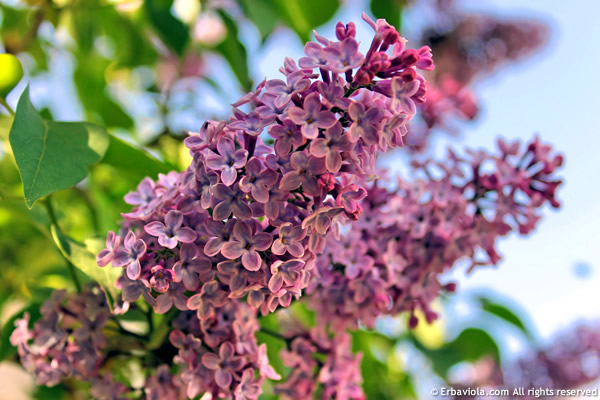 Fioritura di lillà (syringa vulgaris)