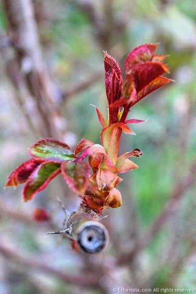 Taglio errato di una rosa Tea - erbaviola.com