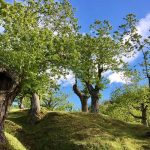 albero cavo nel castagneto