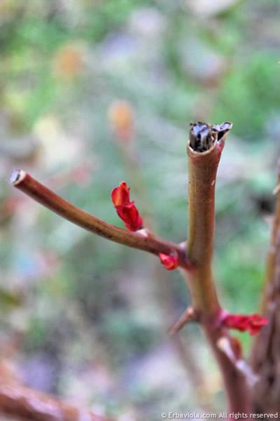 esempio di potatura delle rose con cesoie non affilate - erbaviola.com