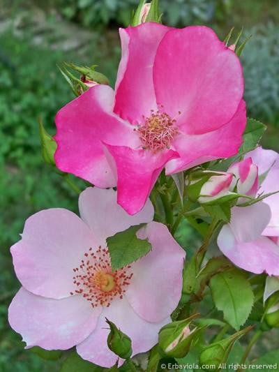rosa Occhi di fata di Barni - www.erbaviola.com