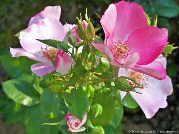 Rosa occhi di fata di Barni - erbaviola.com