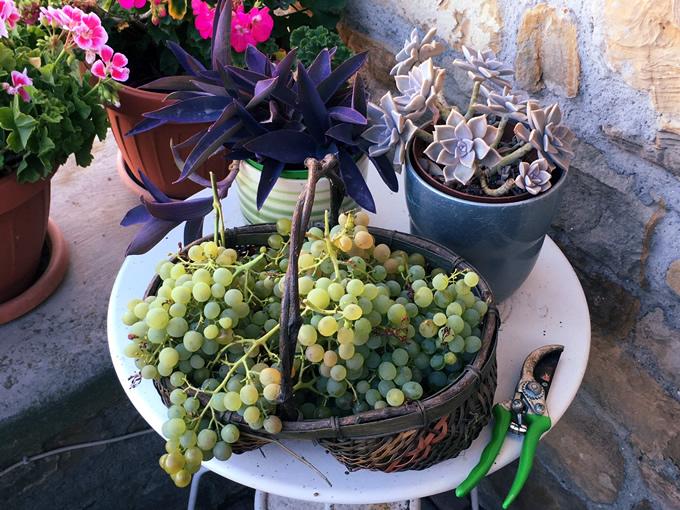 uva della pergola