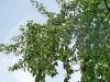 ciliegio selvatico carico