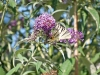 budleja davidii con farfalla