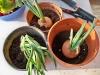 cipolle da mandare in semenza per ottenere semini per il prossimo anno