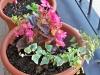 begonia e edera (per i cosmetici fai da te)