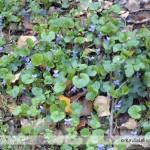 violette nel bosco di Settefonti