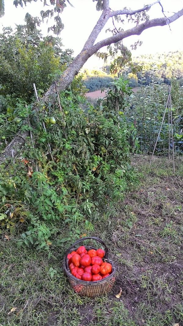 pomodori sull'albero e vista dei colli
