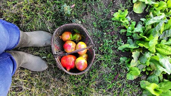 Fragole, melograne e insalate a novembre 2015 nell'orto naturale di Erbaviola