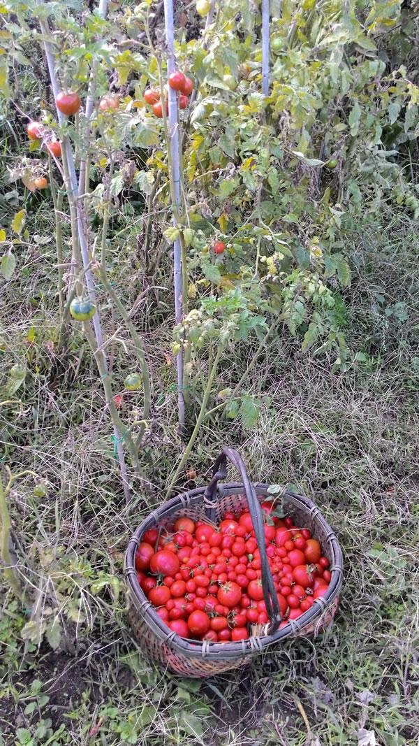 pomodori ciliegini in novembre
