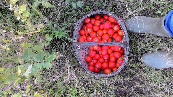raccolta di pomodori ciliegini in novembre