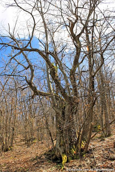 aprile nel bosco, castagni secolari