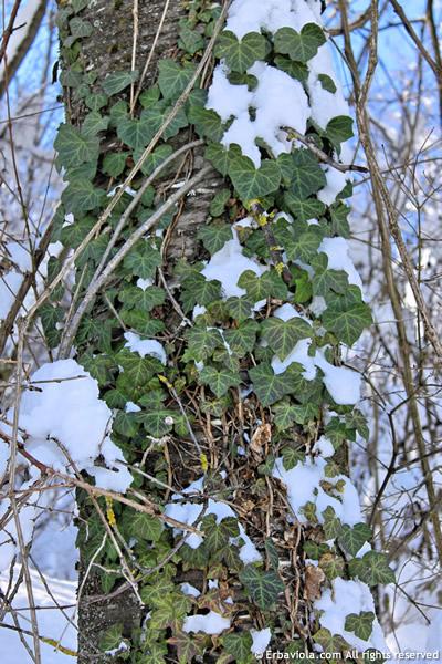neve si scioglie sull'edera