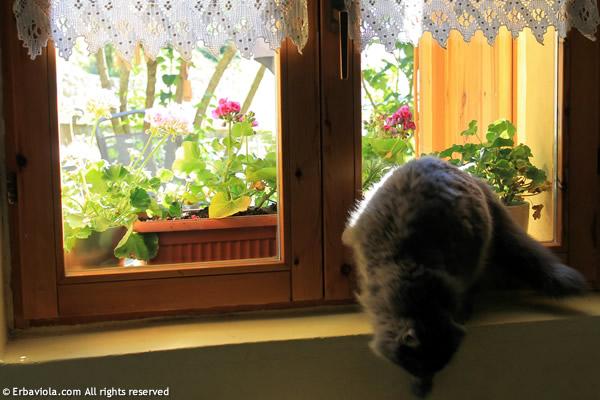 Mako alla finestra con tendine all'uncinetto di erbaviola