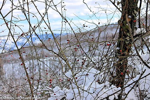 rosa canina bacche in inverno - erbaviola