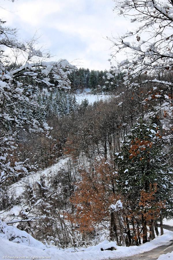 neve nel bosco - erbaviola
