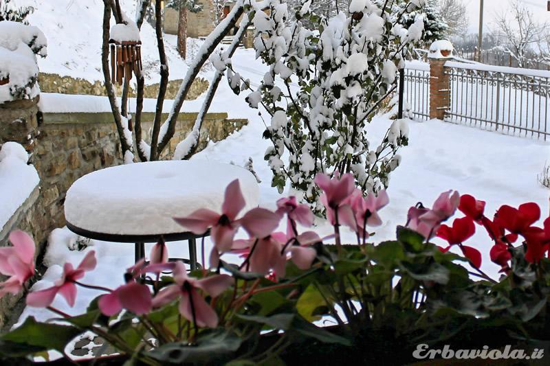 giardino di erbaviola dicembre 2012 con neve e ciclamini