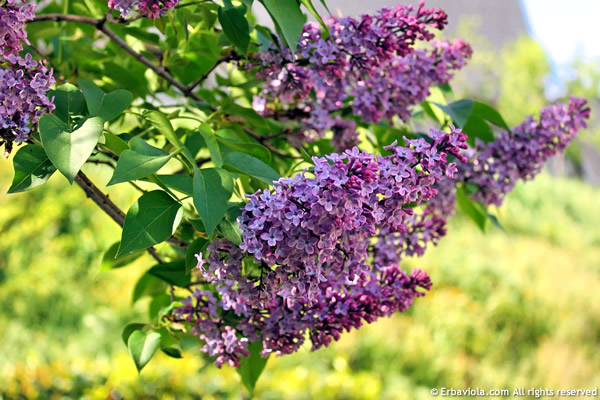Lillà o serenella (syringa vulgaris)