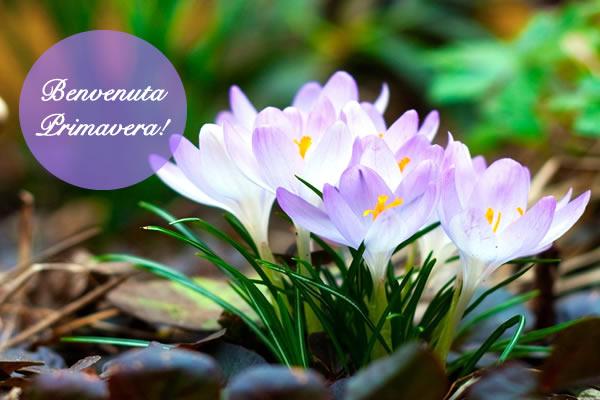 primavera, crochi viola