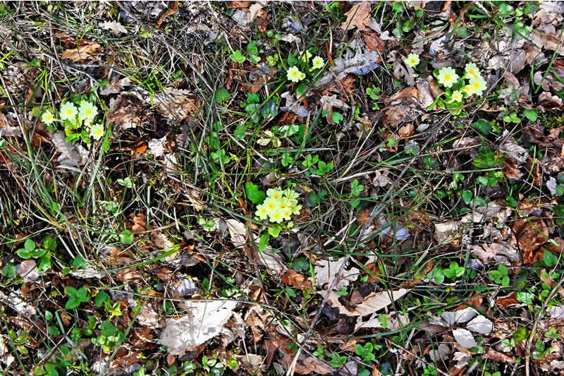 primule e foglie di quercia nel bosco