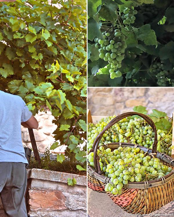 raccolta uva orto 2013 erbaviola.com
