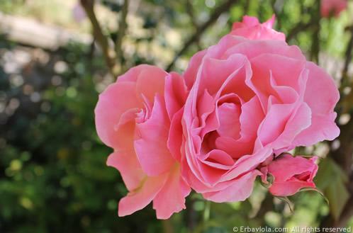 rosa a mazzi, colore rosa tenue