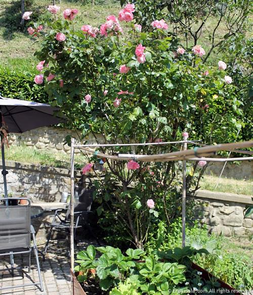 rosa queen elizabeth, prima fioritura 2014